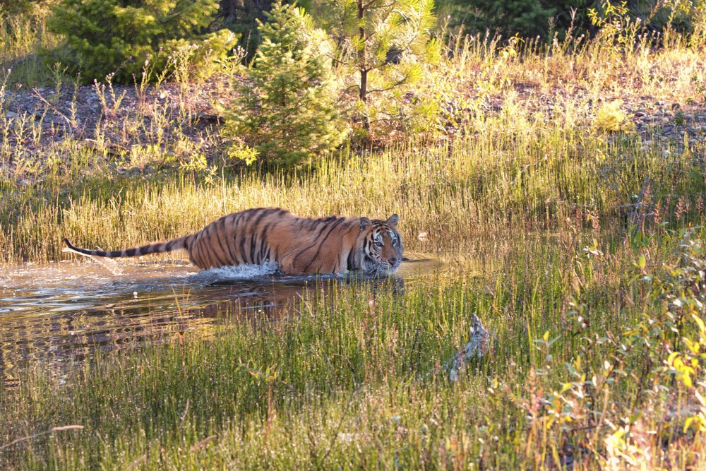 A wild tiger takes a swim