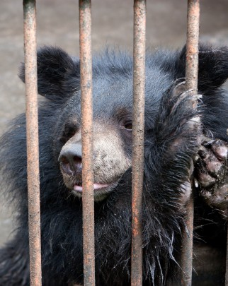 A bear used in the bile industry, South Korea (Green Korea United)