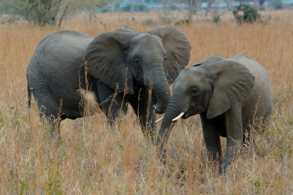 Protecting elephants in Tanzania