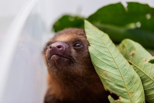 A baby two-toed sloth brought to CETAS is doing well and adjusting to new surroundings.