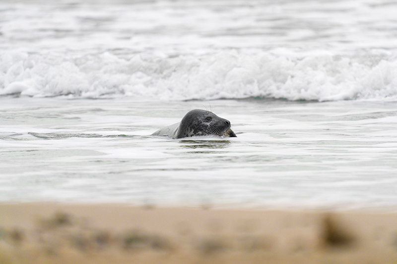 A seal peeking out of the sea water