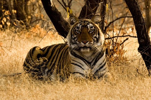 A wild tiger sitting on the dry grasses in a reserve in India