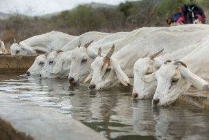 Goats in Kajiado, Kenya drinking water from a trough