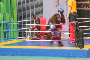 Orangutan performing in a boxing ring
