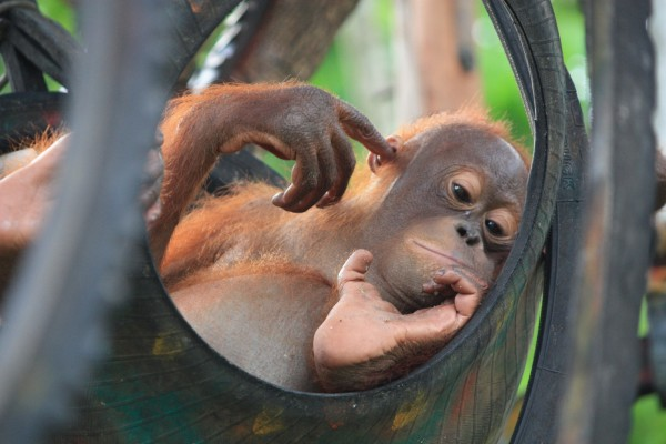 An orphan orangutan relaxes at Nyaru Menteng Rescue and Rehabilitation Centre