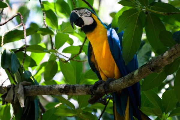 A wild Blue and yellow Macaw (Ara arauna) in Patanal, state Mato Grosso do Sul, Brazil. Photo: Mauricio Forlani