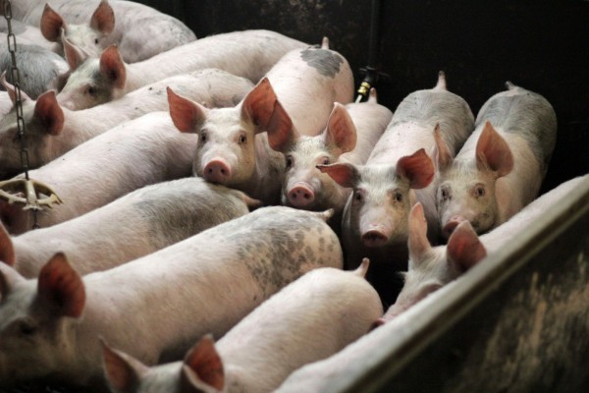 Pigs on a low-welfare farm.