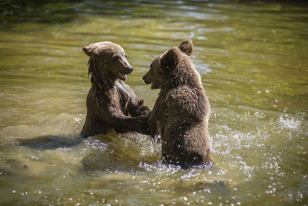 Two bears play in water at the Romanian bear sanctuary