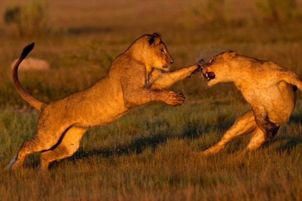 Two lions playing. Taken in Botswana by Don Gutoski
