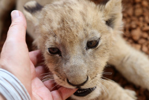 Lion cub in a facility in South Africa