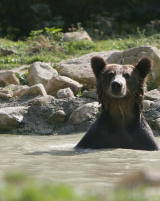 A bear popping its head out of water
