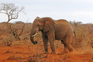 African elephant in Kenya savanna