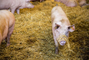 Enriching the barren lives of factory-farmed pigs