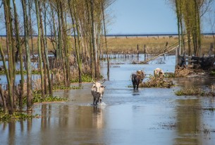 Farm animals in flood water