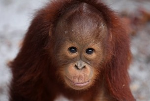 Orangutans are battling for their existence