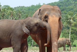 Asian elephants at Pinnawela orphanage in Sri Lanka