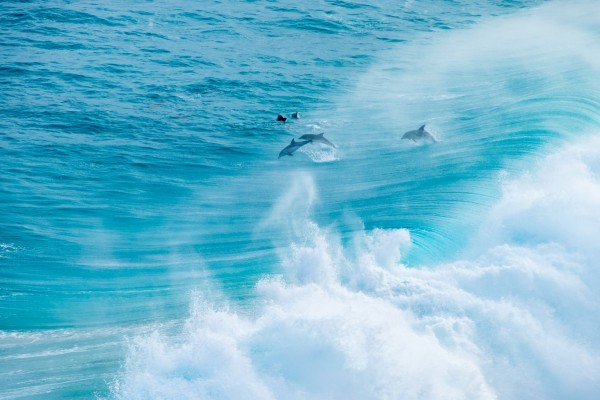 Wild dolphins at the coast near Nullarbor plain, Australia.