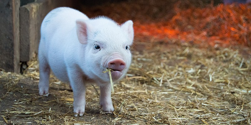 A very small piglet chewing on a bit of staw.