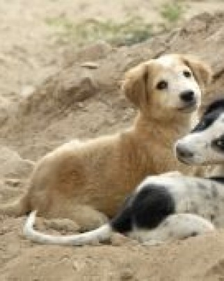 Better lives for dogs. Dog vaccinations