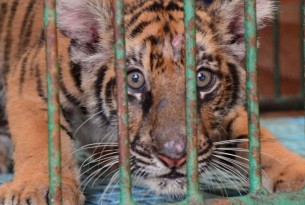 A tiger in captivity