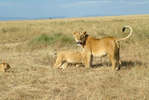 A lioness with cubs in the Mara Masaai Reservation, Kenya