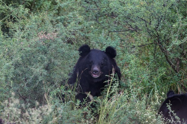 Rescue update: Rene the Asiatic black bear