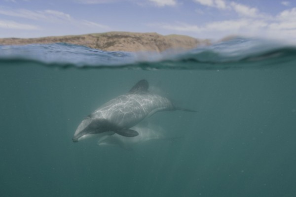 Hector dolphin swimming