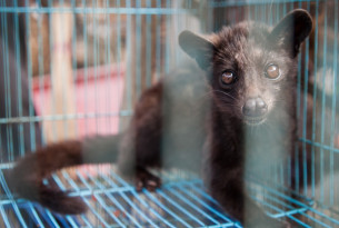 Civet, Animal Market