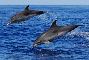 Atlantic spotted dolphins off the coast of Azores, Portugal