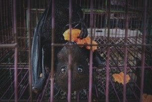 A captive bat eating fruit, at a market in Jakarta, Indonesia. Credit Line: World Animal Protection / Aaron Gekoski