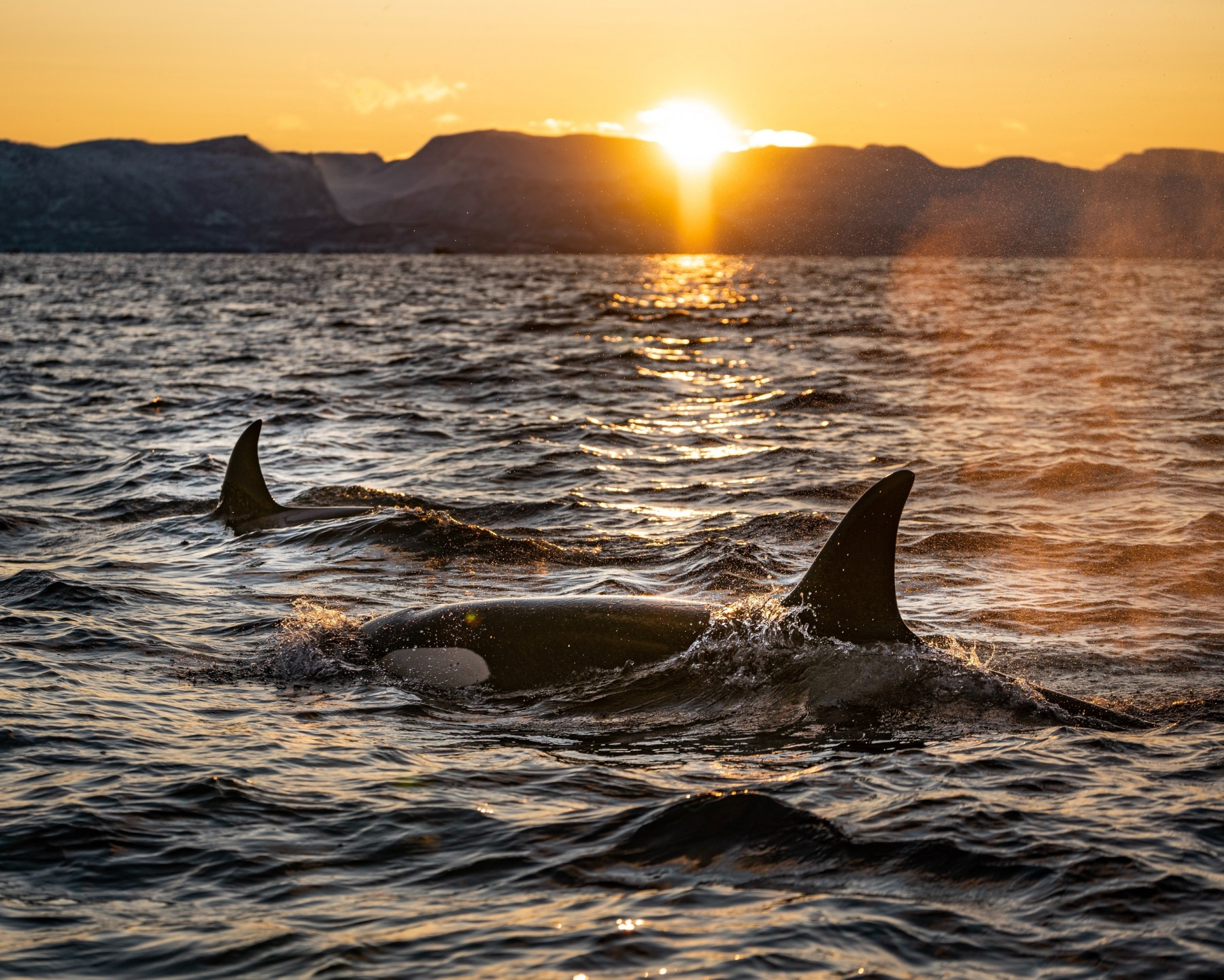 Wild Orcas surface at sunset - by Bart Van Meele