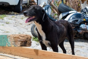 Dog in St Maarten in aftermath of Hurricane Irma - World Animal Protection - Disaster management
