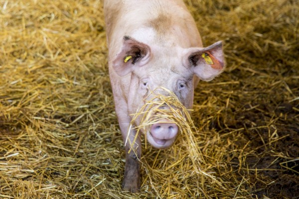 An example of good animal welfare practices at an indoor pig farm in the UK.