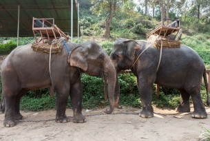 Elephants at tourist attraction with saddles on their backs - Wildlife. Not entertainers - World Animal Protection