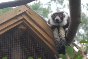 Lemur provides hope for wildlife after devastation of Cyclone Ava