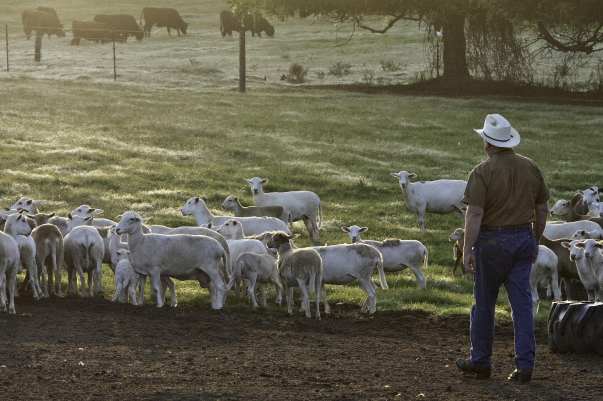 cattle on Farm