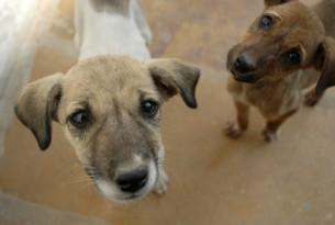 Dogs in Jaisalmer