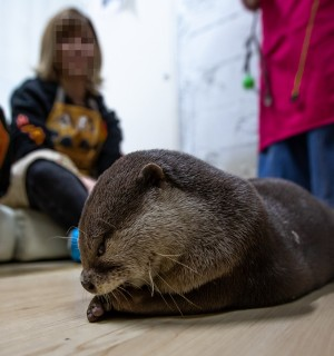An otter being kept as a pet in someone's home