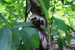 Sloth slowly climbs to forest freedom