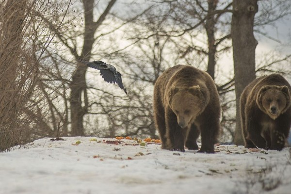 2 rescued bears walking in the Romanian bear sanctuary