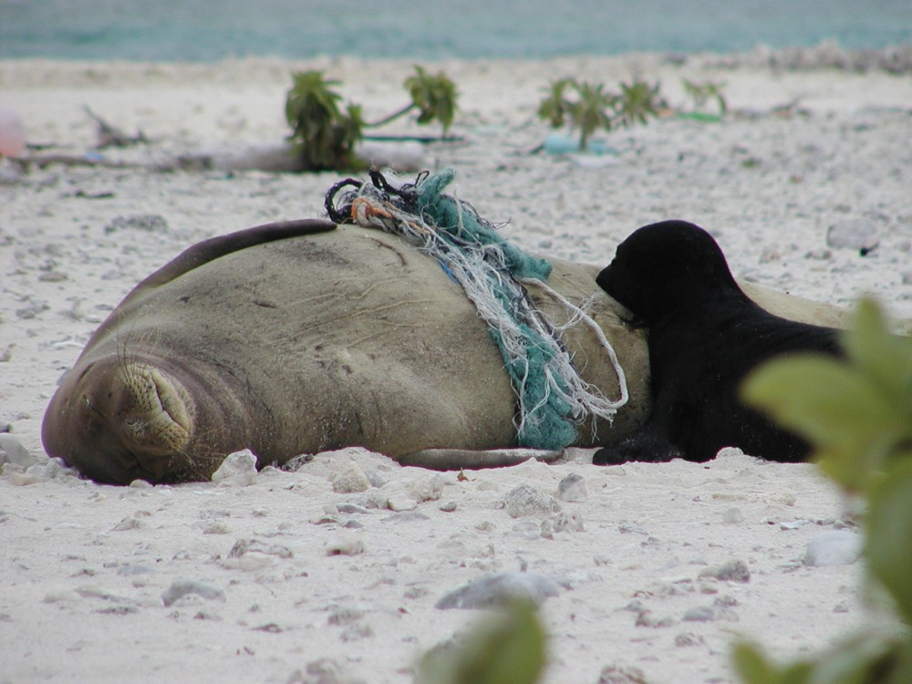 A Hawaiian monk seal, entangled in marine debris, rests on the beach with her pup. Photo: NOAA, NMFS.