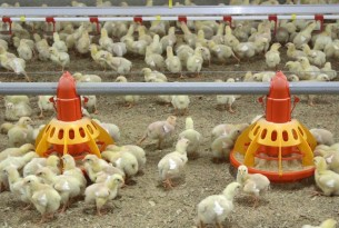 How are global food brands protecting farm animals?