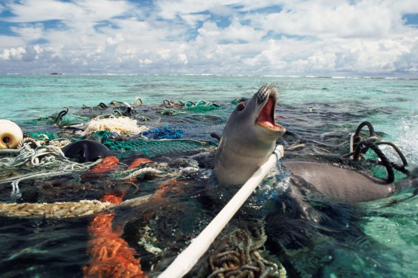 A Hawaiian monk seal is caught in abandoned fishing tackle off the Kure Atoll, Pacific Ocean