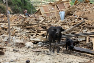 A six-month-old water buffalo calf in the rubble of her former shelter, Kavre District, Nepal.