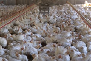 World Animal Protection - The Pecking Order - Chickens in a factory farm