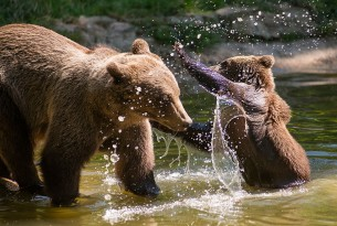 Mother and bear cub playing in water