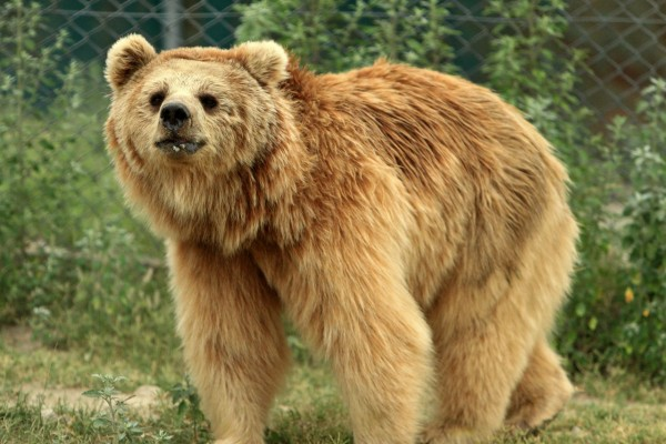 Bhoori, one of the Himalayan brown bears at Balkasar sanctuary