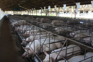 sows in gestation crates