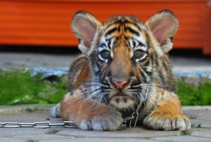 Tiger chained at tourist attraction in Thailand