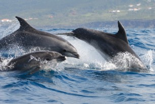 Three bottlenose dolphins off the coast of Azores, Portugal.